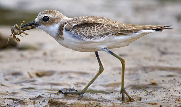 Charadrius Greater sand plover in vivo