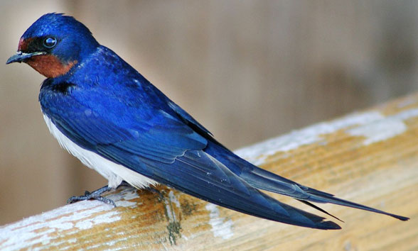 Hirunda barn swallow invivo