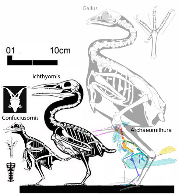Ichthyornis and Confuciusornis