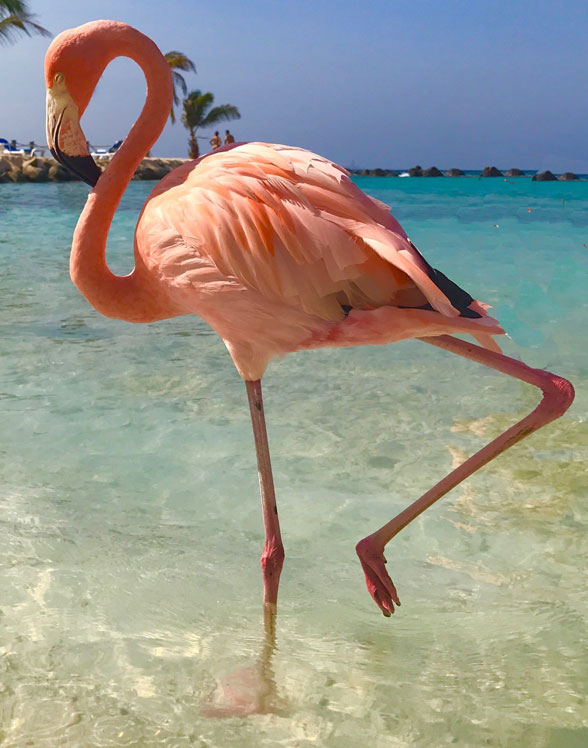 Phoenicopterus the flamingo