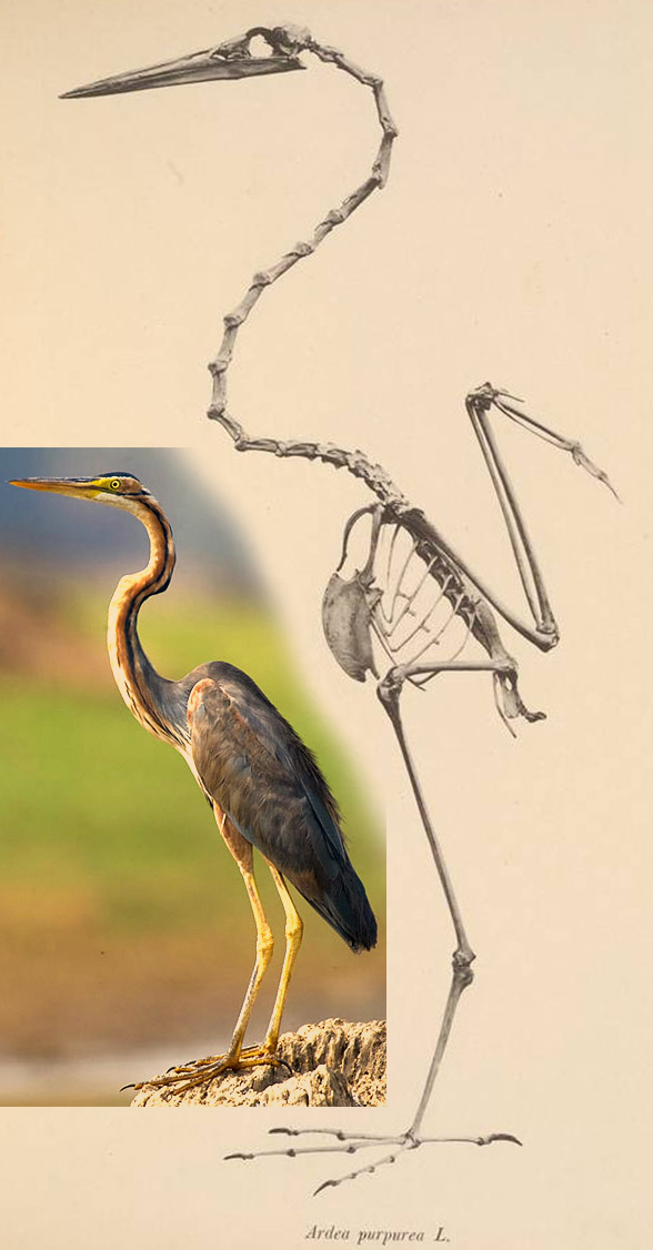 Purple heron skeleton