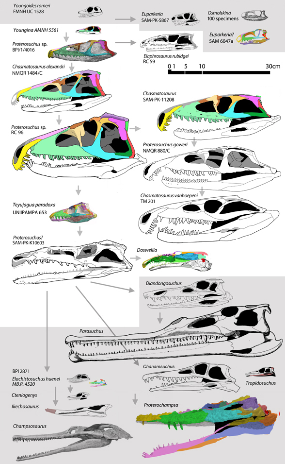 Several proterosuchid skulls to scale