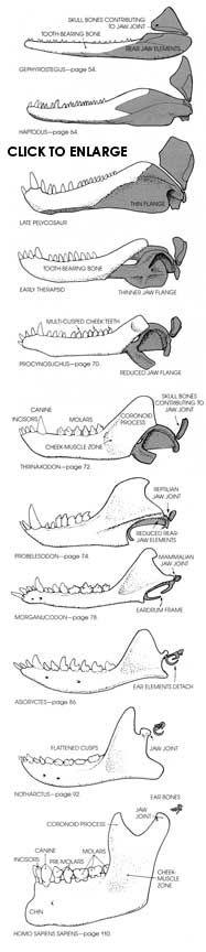 Evolution of the mammalian jaw and ear