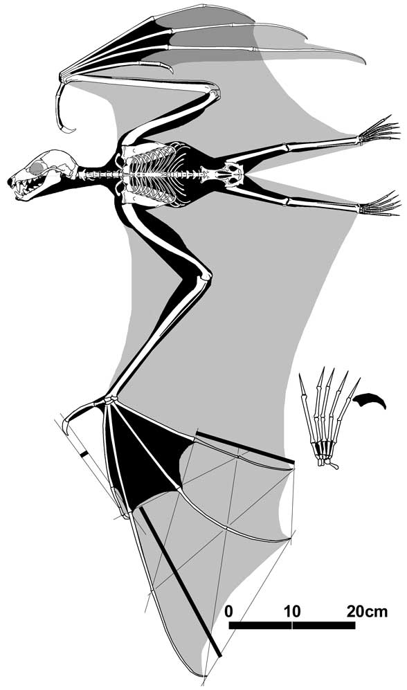 Pteropus, a flying fox/megabat