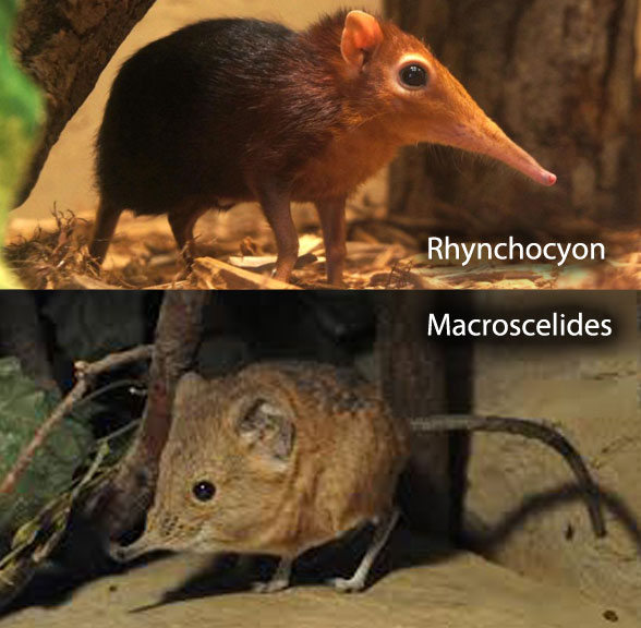 Rhynchocyon compared to Macroscelides