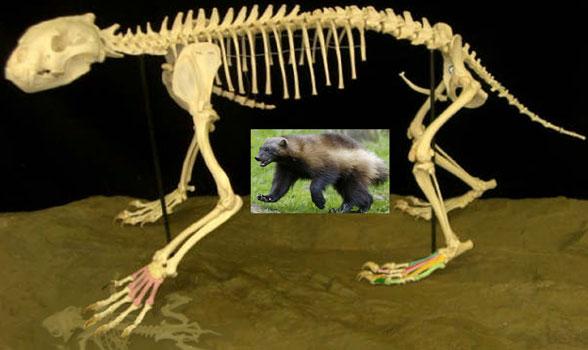 http://reptileevolution.com/images/archosauromorpha/synapsids/mammals/wolverine_skeleton588.jpg