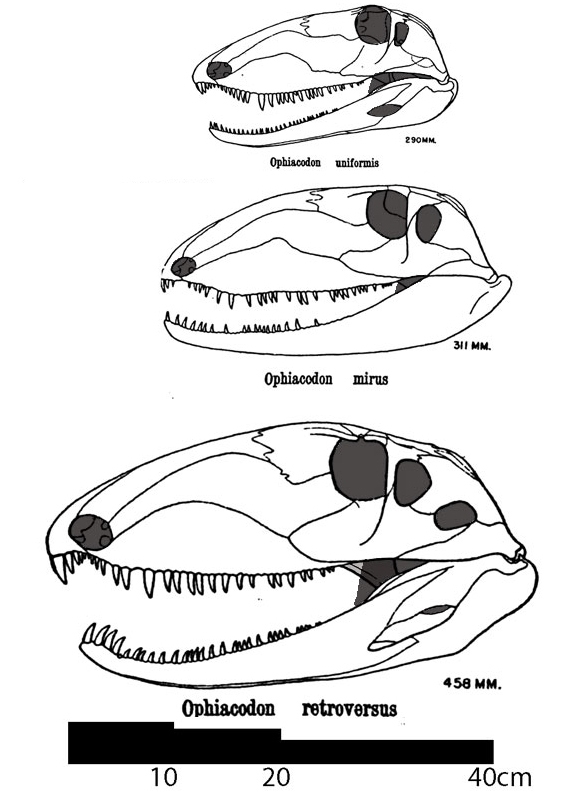 Ophiacodont skulls to scale