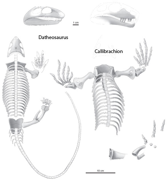 Datheosaurus and Callibrachion