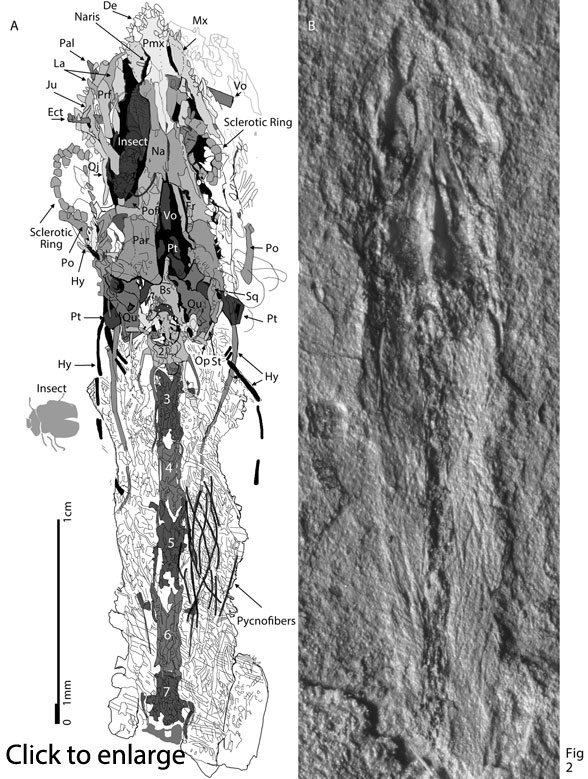 Sharovipteryx neck in situ