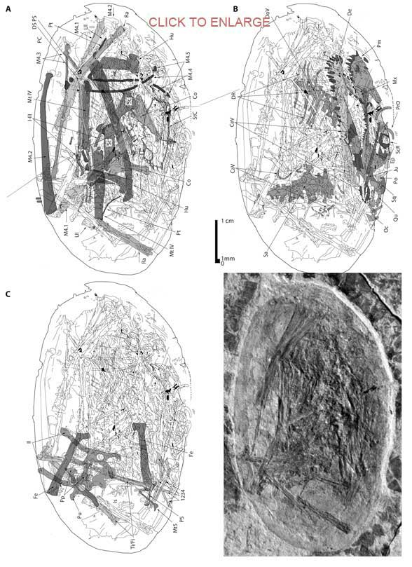 The JZMP pterosaur embryo in situ