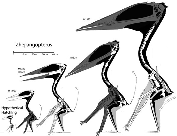 Zhejiangopterus maturation with juveniles