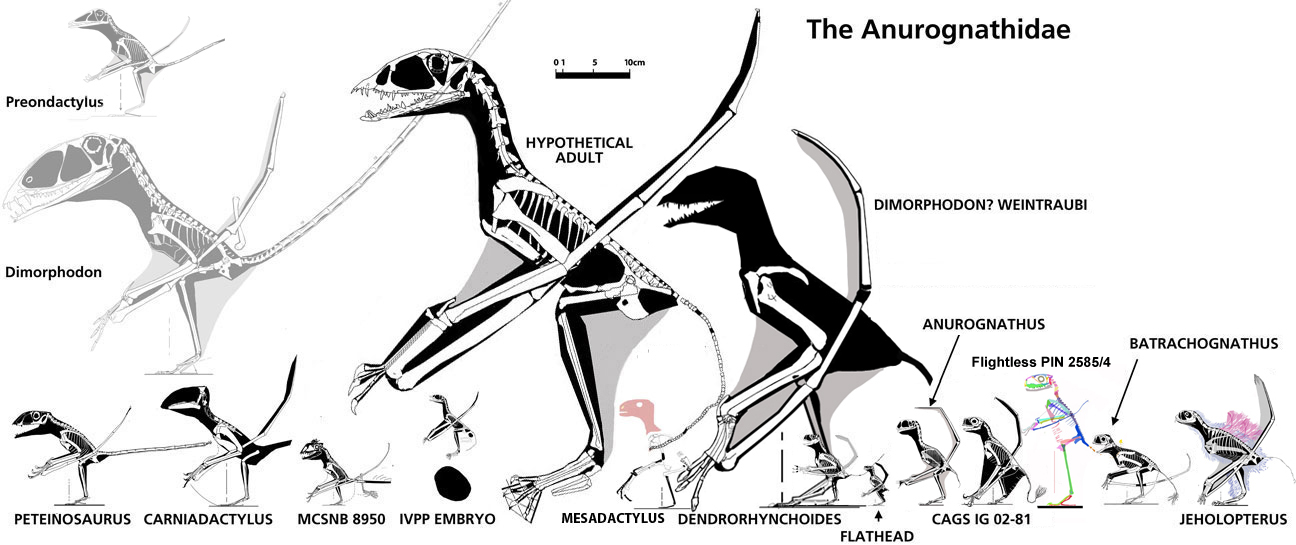 Anurognathids to scale