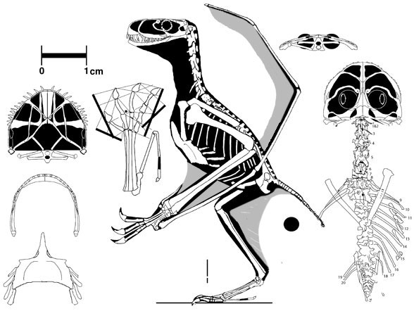 The SMNS specimen attributed to Anurognathus