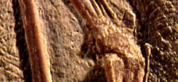Digit 5 in Pterodactylus scolopaciceps