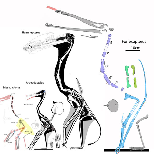 Forfexopterus and Huanhepterus to scale