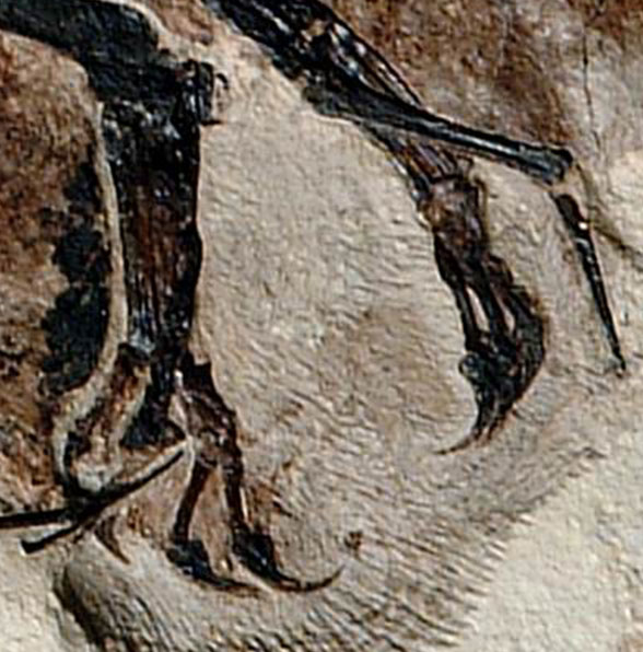 Jeholopterus feet and wing tip