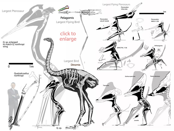 largest pterosaurs and largest birds to scale
