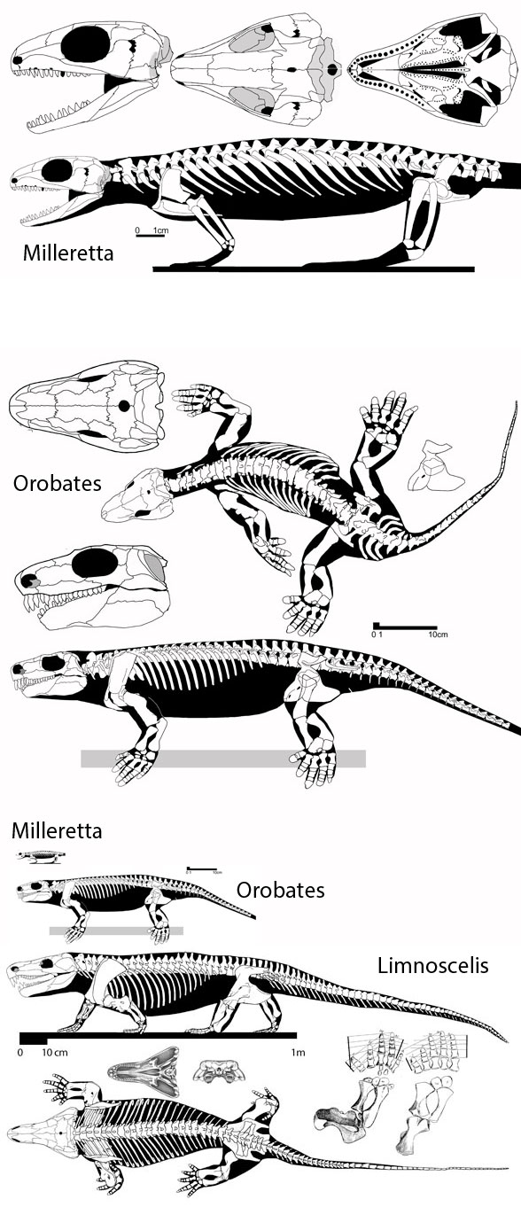 Milleretta, Orobates and Limnoscelis to scale