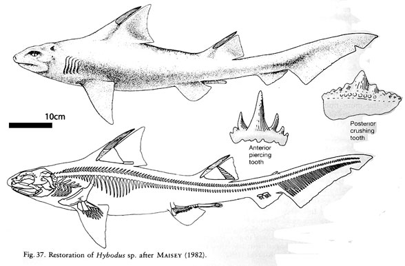 Hybodus diagram